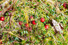 Cranberries red berries on nature background in forest Royalty Free Stock Photo