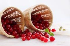 Cranberries rozpraszają od koszy Obrazy Royalty Free