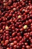 cranberries som grupperar skördad verticle Royaltyfri Bild