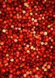 cranberries som väljs nytt Arkivfoton