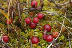 Cranberries on sphagnum moss. Vaccinium oxycoccos. Cranberries Vaccinium oxycoccos photographed in a Finnish bog. The sphagnum moss creates a natural and well Stock Image
