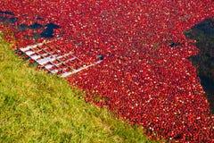 Cranberries unosi się w bagnie przed zbierać Obrazy Royalty Free