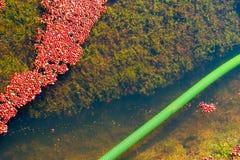 Cranberries unosi się w bagnie przed zbierać Obraz Royalty Free