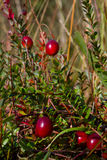 Cranberries. (Vaccinium macrocarpon or Oxycoccus macrocarpus) ready to be harvested royalty free stock photo