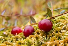 Cranberries (Vaccinium oxycoccos). Close-up view of wild ripe cranberries growing in a bog royalty free stock photography