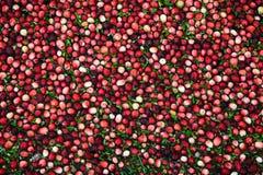Cranberries w Zalewającym bagnie - zbliżenie Zdjęcia Stock