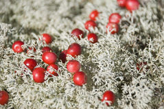 Cranberries on white moss. Background royalty free stock photos