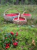 Cranberries in wicker Stock Images