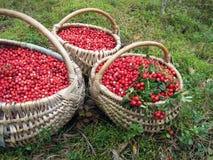 Cranberries in wicker Stock Image