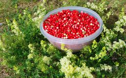 cranberries świezi Obrazy Royalty Free