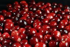 cranberry świeży Zdjęcie Stock