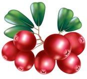 cranberry świeży Obraz Royalty Free