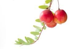 Cranberry żniwo sezon obrazy royalty free