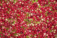 cranberry royaltyfri foto