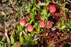 Cranberry. The cranberry growing in a moss, on a bog in the autumn day Royalty Free Stock Photos