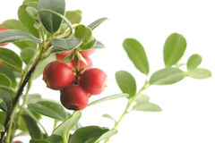 Free Cranberry Stock Image - 263271