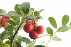 Free Cranberry Stock Photography - 263272