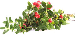 Free Cranberry Stock Photos - 263273