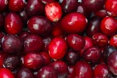 Cranberry arkivfoto