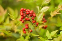 cranberry Obrazy Royalty Free