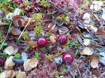 Cranberry Zdjęcia Royalty Free