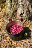 cranberry fotografering för bildbyråer