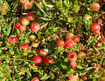 Cranberry. Royalty Free Stock Photography