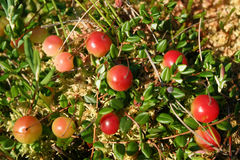 Cranberry. Stock Image