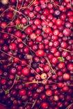 cranberry royaltyfria foton