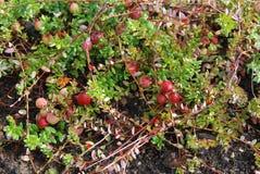 cranberry Στοκ φωτογραφίες με δικαίωμα ελεύθερης χρήσης