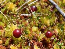 cranberry royaltyfri foto
