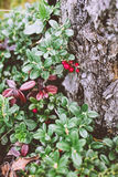 Cranberry in autumn forest Royalty Free Stock Photo