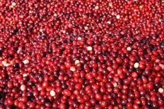Cranberry Background Stock Image