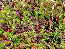 Cranberry background. ( macro ) Indian garden farm Bridgewater Lunenburg County Nova Scotia Canada Stock Photo