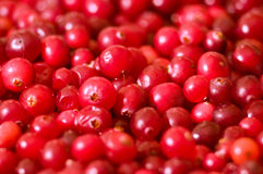 Cranberry background Stock Photography