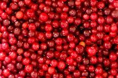 Cranberry Background Royalty Free Stock Image