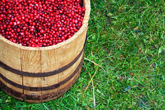Cranberry in barrel Stock Image