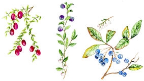 Cranberry, Bilberry, Blueberry Stock Images