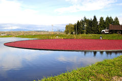 Cranberry in the bog