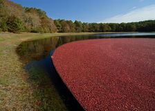 Cranberry bog Stock Photo