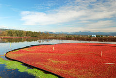 Cranberry bog Royalty Free Stock Image