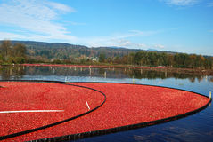 Cranberry bog Stock Photography