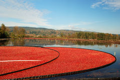 Cranberry bog Royalty Free Stock Images