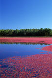 Cranberry Bog. Cranberry farming in cranberry bog Royalty Free Stock Photography