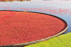 Cranberry bog Royalty Free Stock Photo
