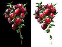 Cranberry bouquet, clipping paths. Cranberry bouquet (Vaccinium oxycoccus), clipping paths Royalty Free Stock Image