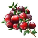 Cranberry bouquet, paths. Cranberry bouquet Vaccinium oxycoccus, clipping paths stock photo
