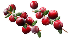 Cranberry branch composition, clipping paths. Cranberry branch Vaccinium oxycoccus composition elements, clipping paths stock image