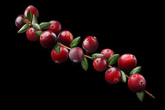 Cranberry branch composition, clipping paths. Cranberry branch composition (Vaccinium oxycoccus), clipping paths Stock Image