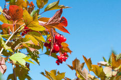 Cranberry on the branch. Red cranberry on the branch with blue sky background Stock Image